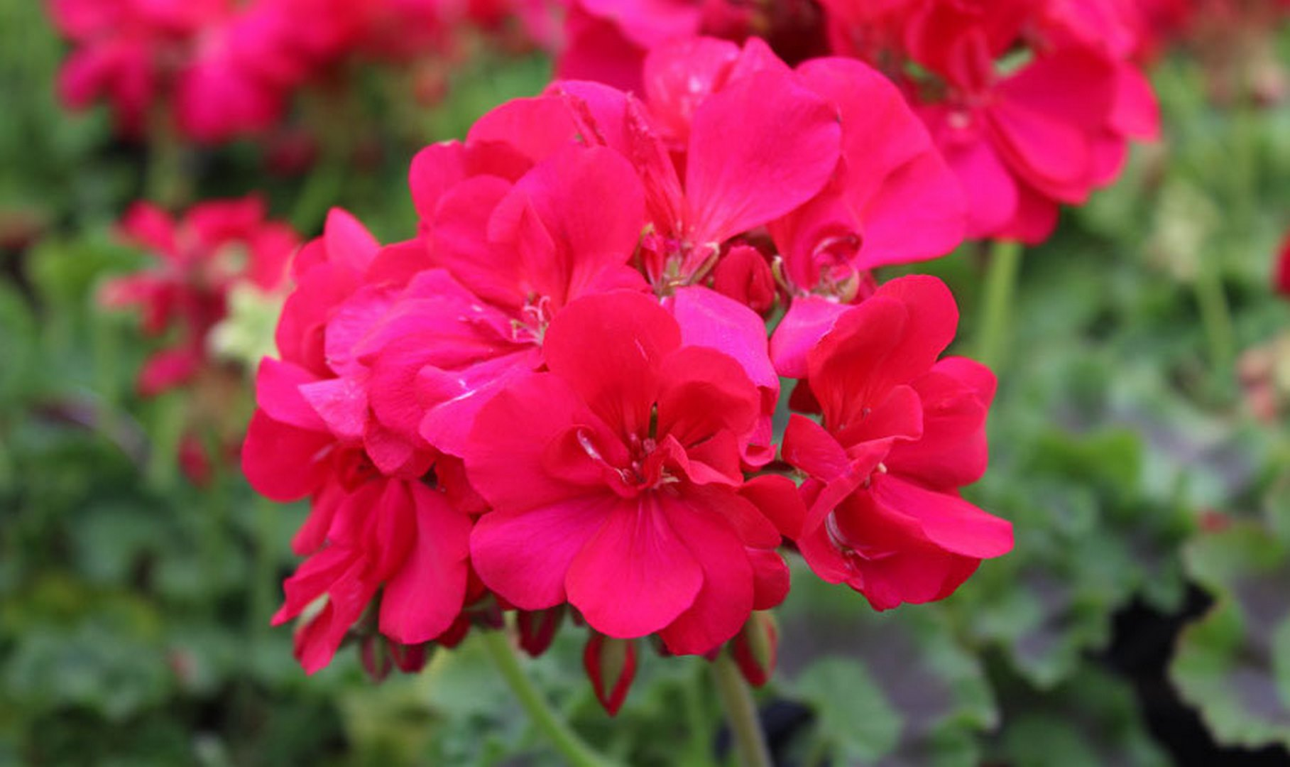 Géranium Zonal Calliope 'Hot Rose' Pelargonium interspecific